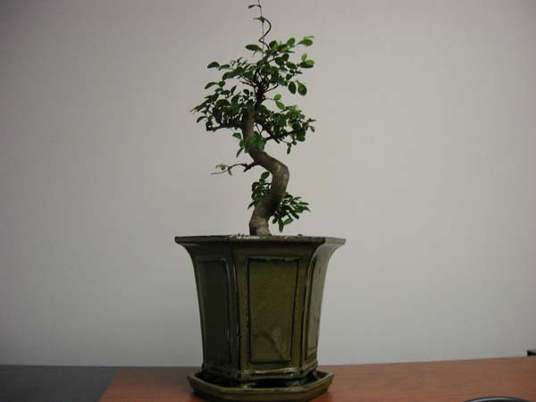 office bonsai. Beautiful Office Office Bonsai Wonderful On Bonsai For Office Bonsai